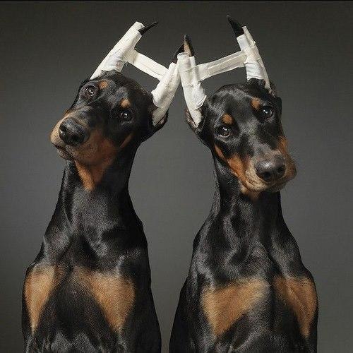 جراحی زیبایی گوش سگ