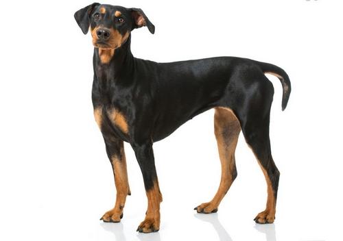 عوارض جراحی زیبایی گوش سگ